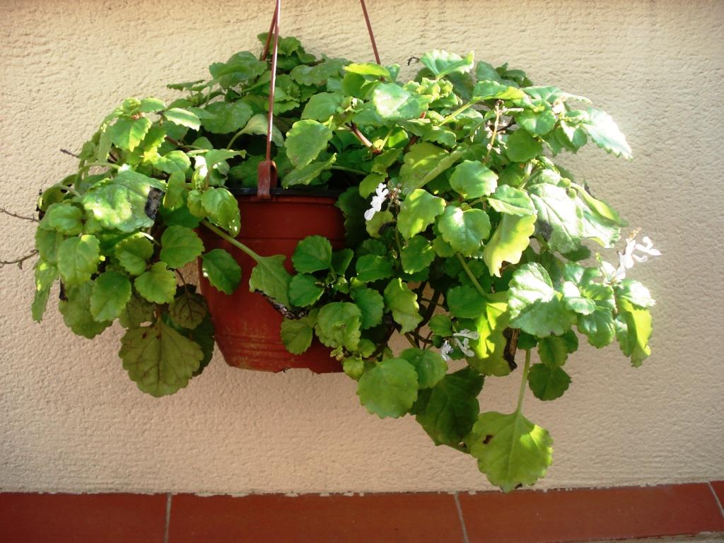 Planta del dinero plantas de interior y exterior - Ver plantas de interior ...