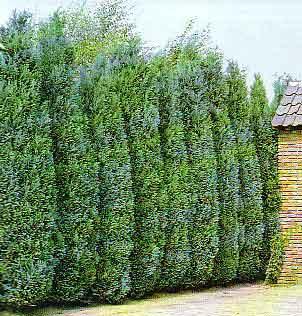 Por qu cortar los pinos plantas de interior y exterior for Arboles altos para jardin