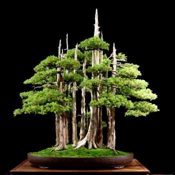Macetas para bonsai: planas o normales