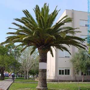 Cuidados de las palmeras plantas de interior y exterior for Palmeras de exterior