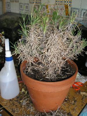 Golpe de calor en las plantas c mo actuar plantas de - Planta lavanda cuidados ...