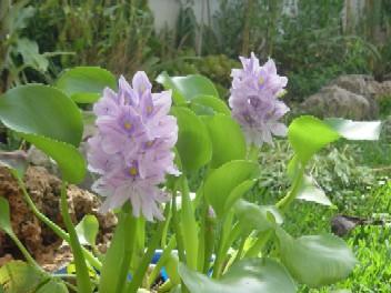 Jacinto de agua plantas de interior y exterior - Jacinto planta cuidados ...