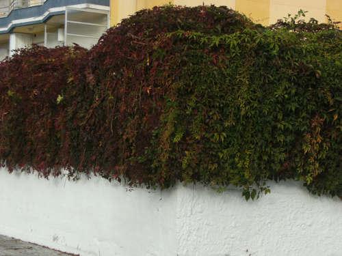 Tapar la valla con enredaderas plantas de interior y - Enredaderas de interior ...