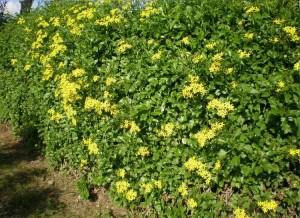 Trepadoras resistentes al sol plantas de interior y - Plantas de balcon resistentes al sol ...